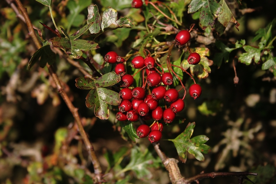 What to forage in November | Hawthorn Berries
