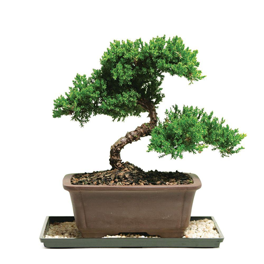 brussel-s-bonsai-bonsai-trees-dt-7079gmj-64_1000.jpg