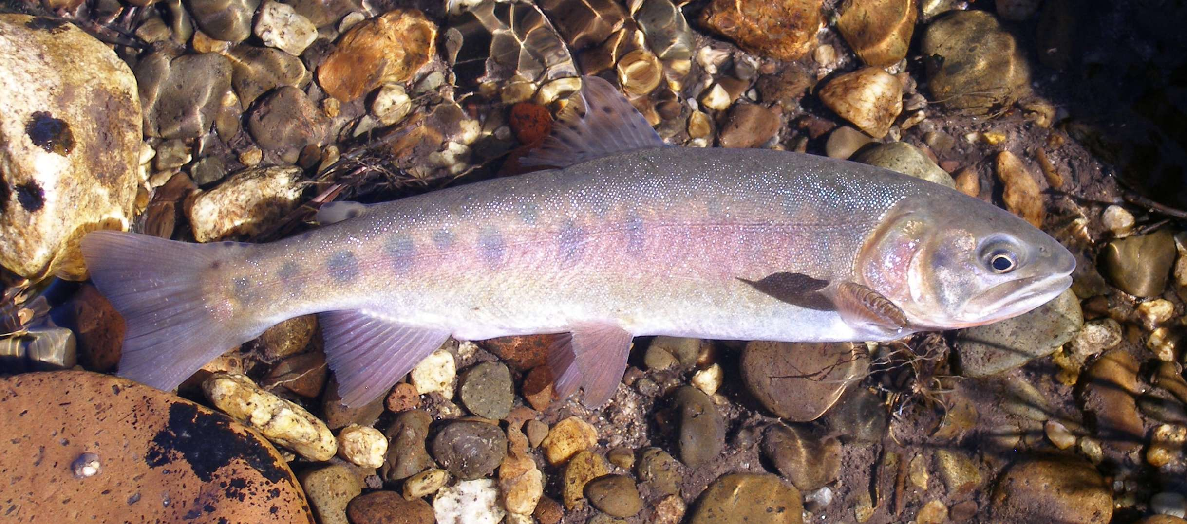 Photo of Paiute cutthroat. Credit: Bill Somer, California Department of Fish and Wildlife