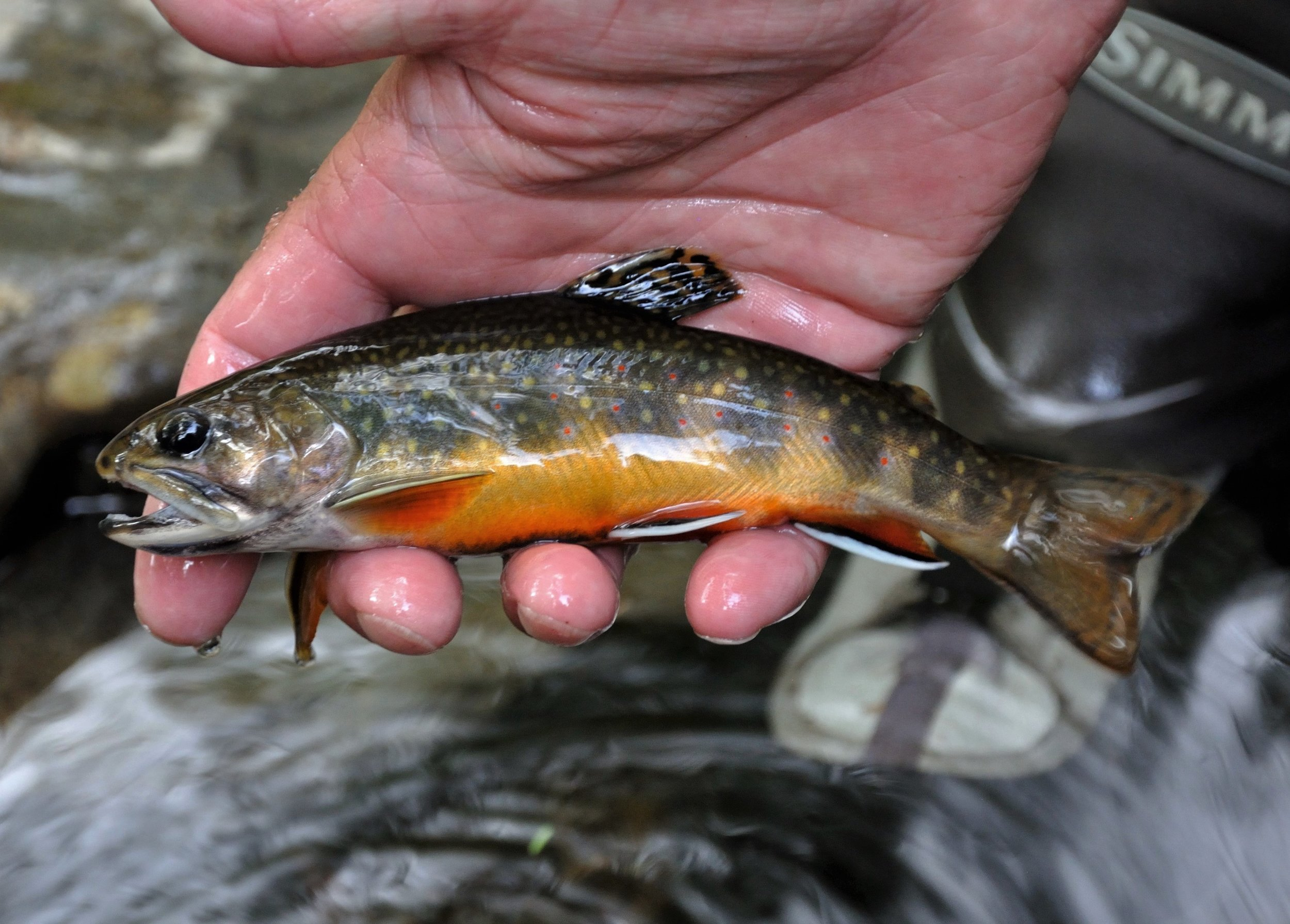 Wild native brook trout from Great Smoky Mountain National Park. Photo: Diana Mallard
