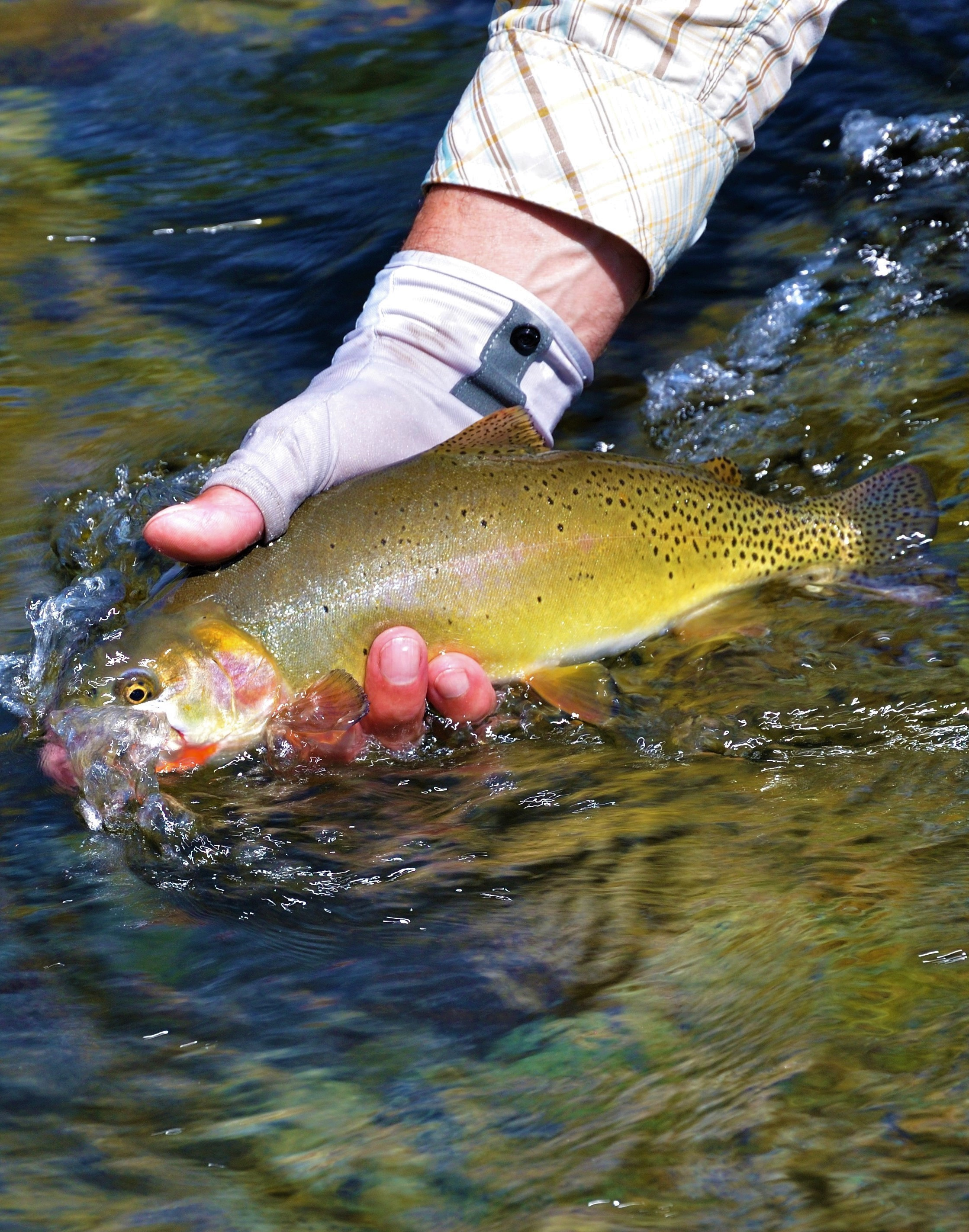 Native Cutthroat -  Wyoming