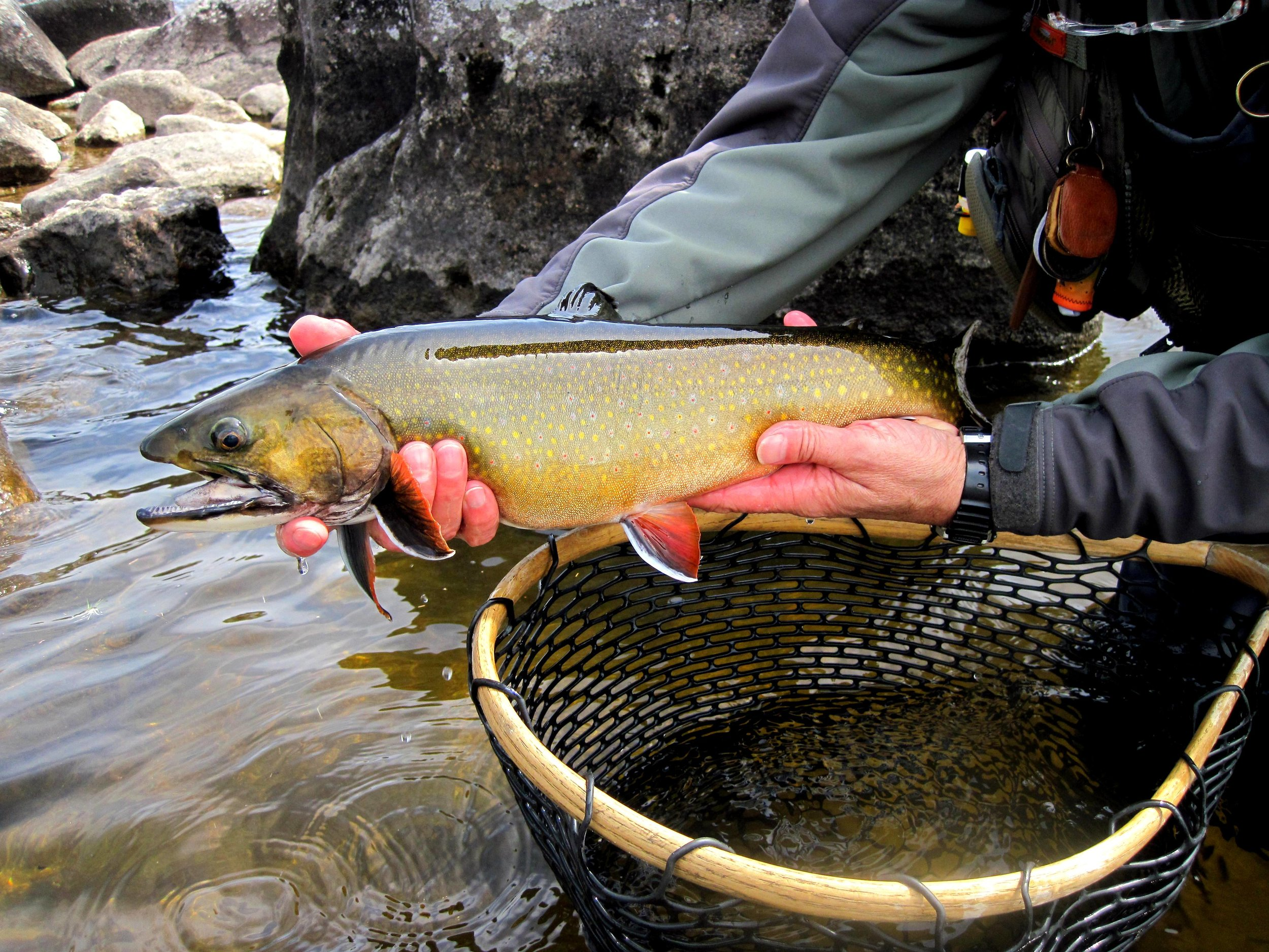 Author with Rapid River Brookie (Kris Thompson-Pond In The River Guide Service).JPG