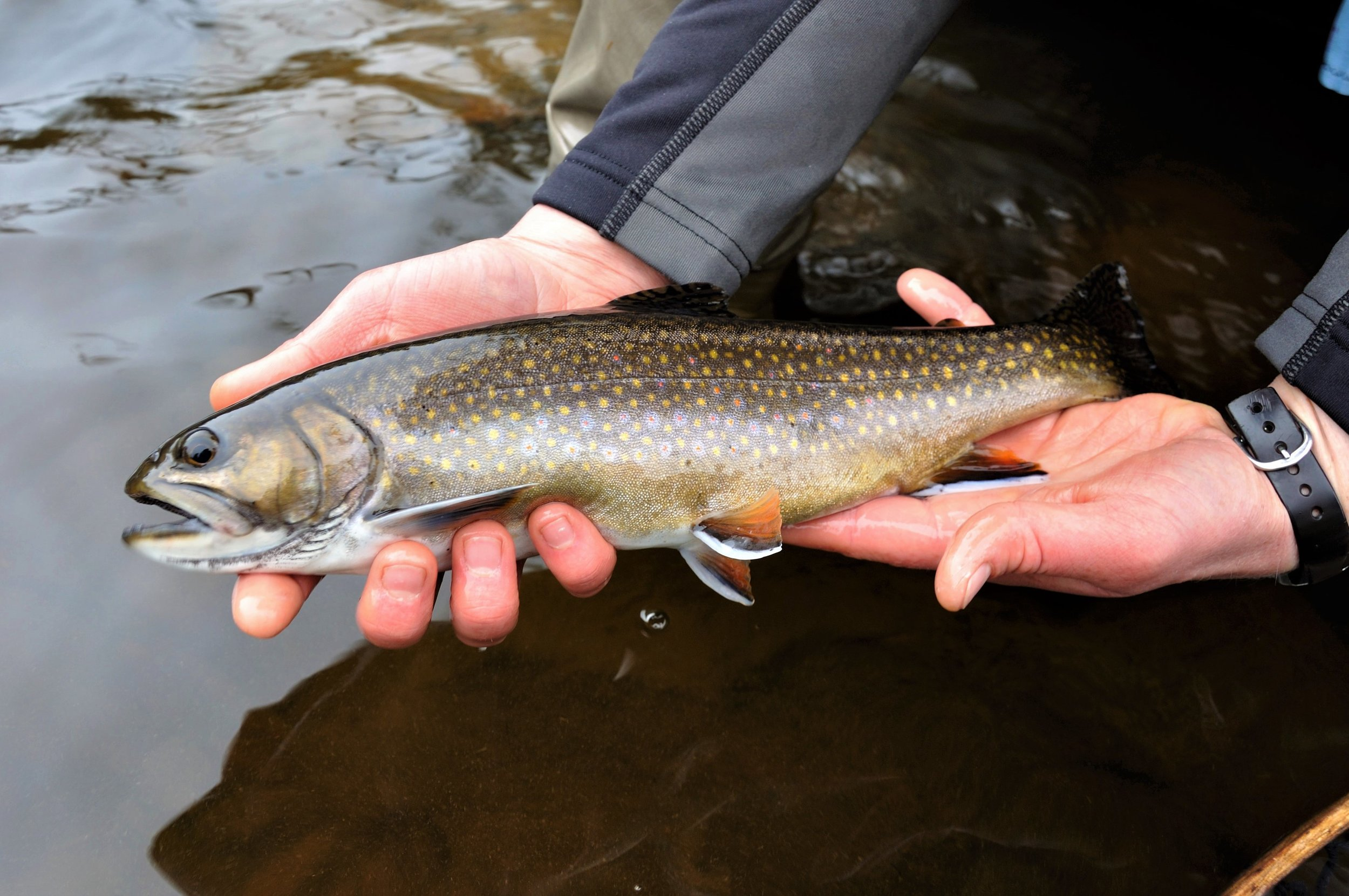 Author with a sea-run brook trout from Downeast Maine