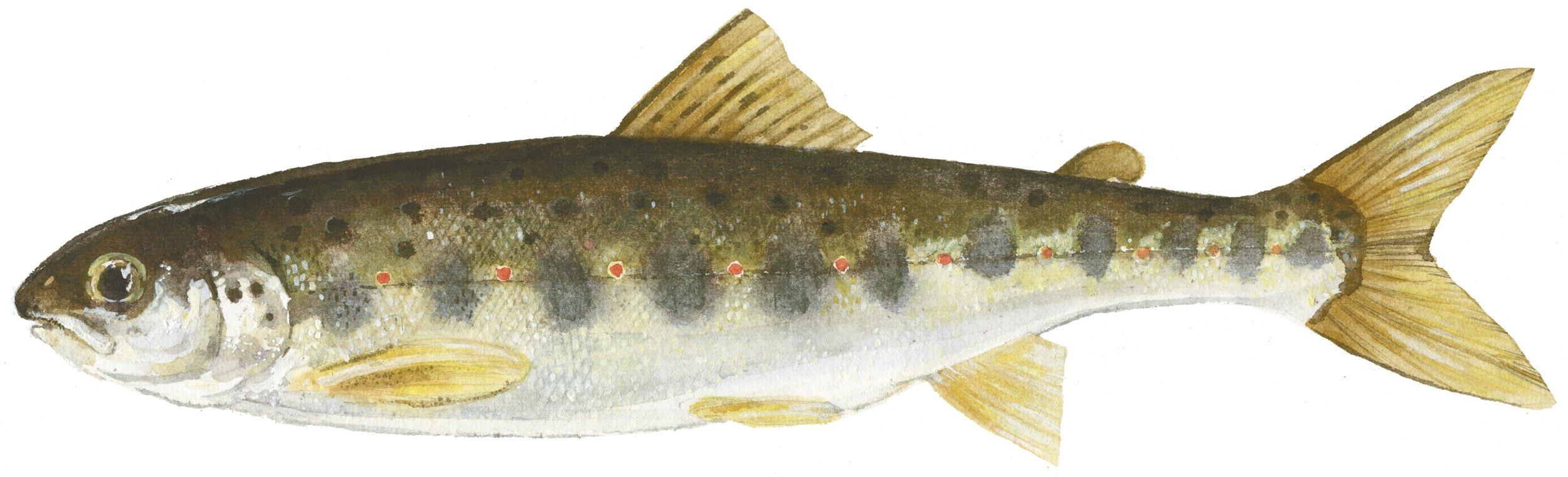 Atlantic Salmon Parr