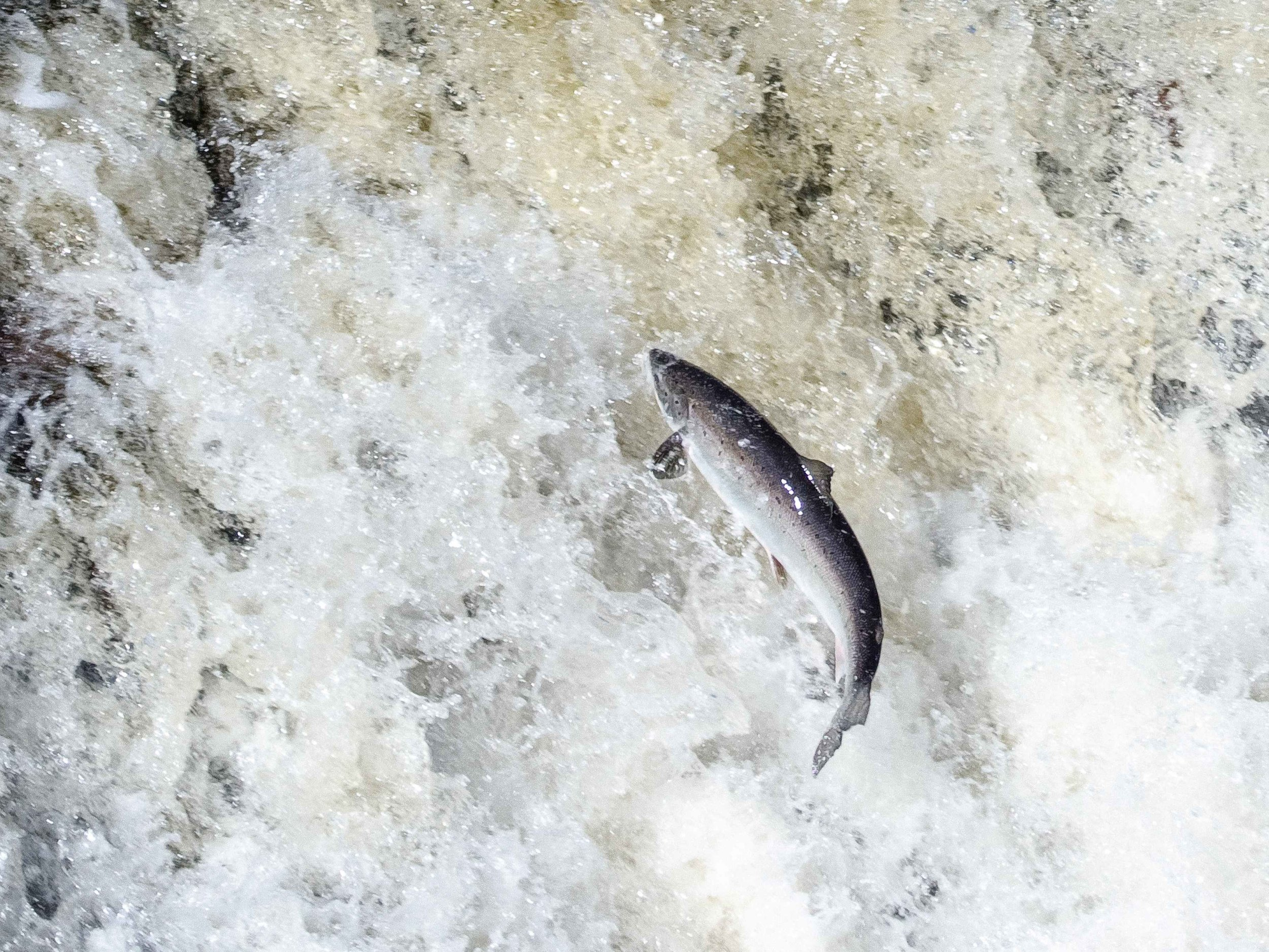 Leaping_Salmon_Big_East_River-2.jpg