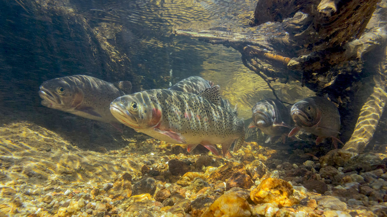 Greenback-cutthroat-underwater-1260x708.jpg