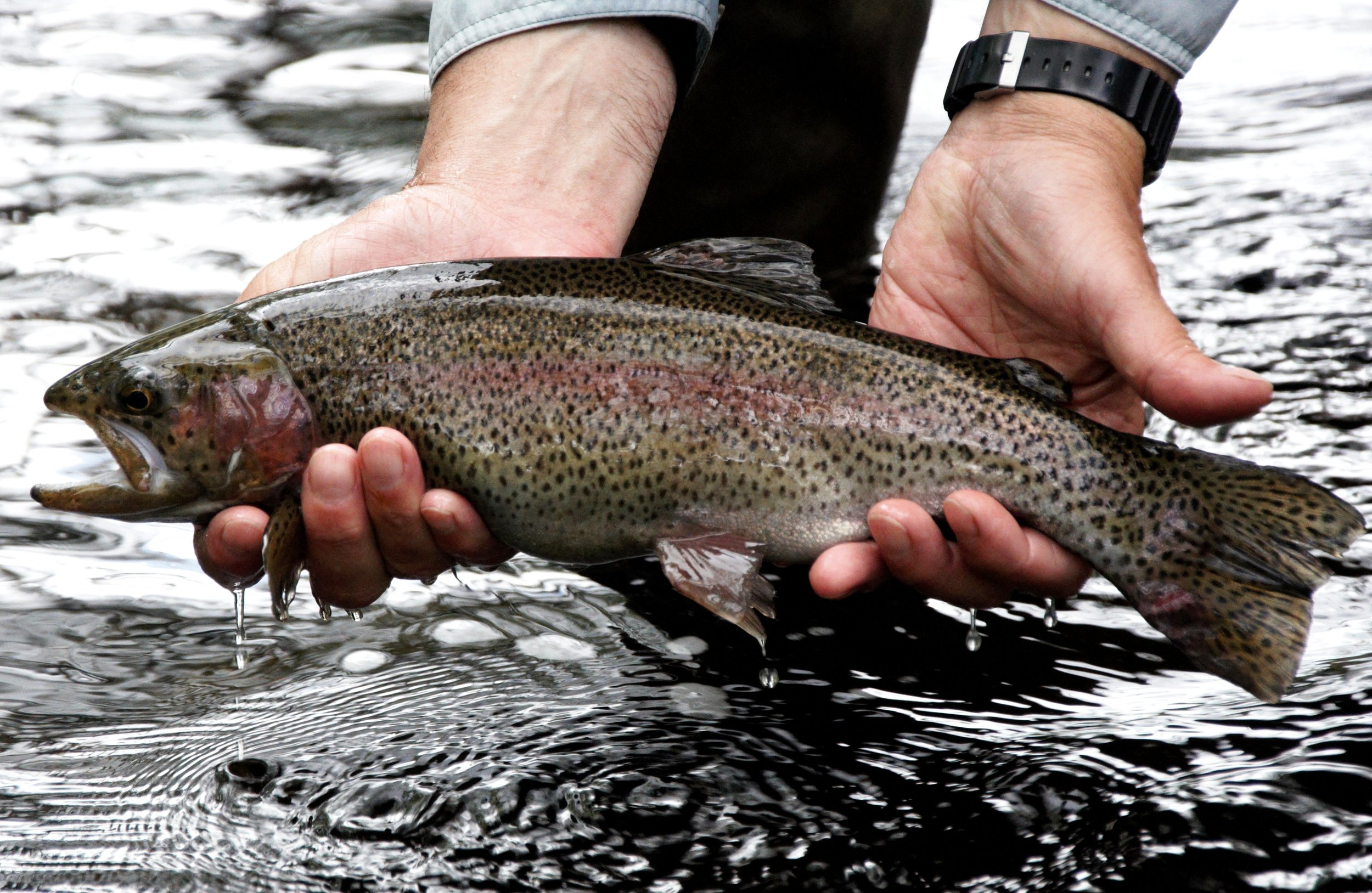 A stocked nonnative rainbow trout in New Hampshire.