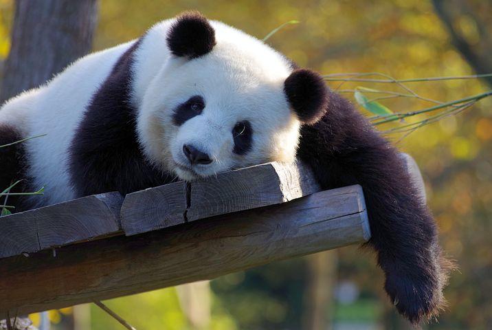 Chongqing Panda Zoo