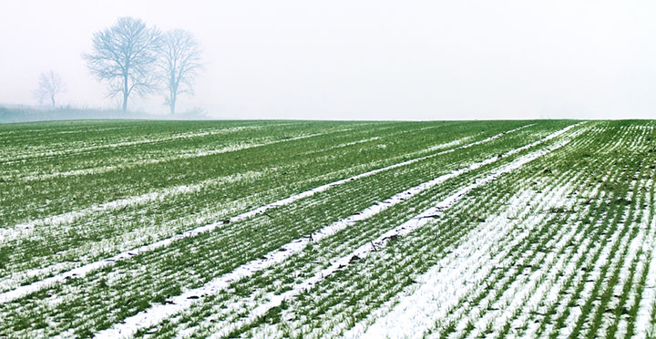 wheat-winter.jpg