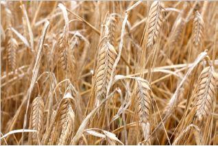 barley in feed-malt.JPG