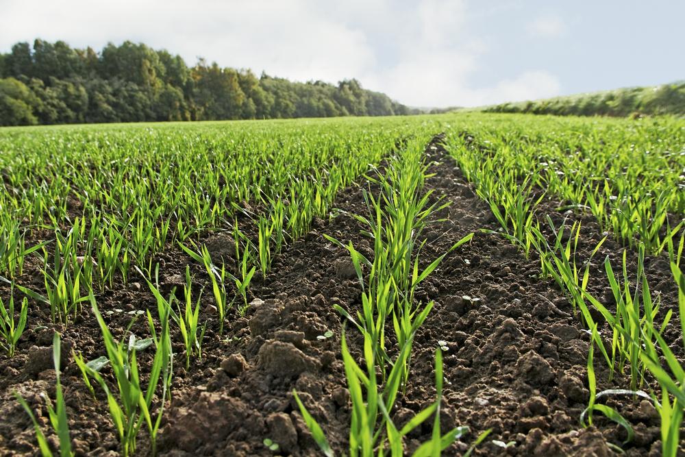 young wheat.jpg