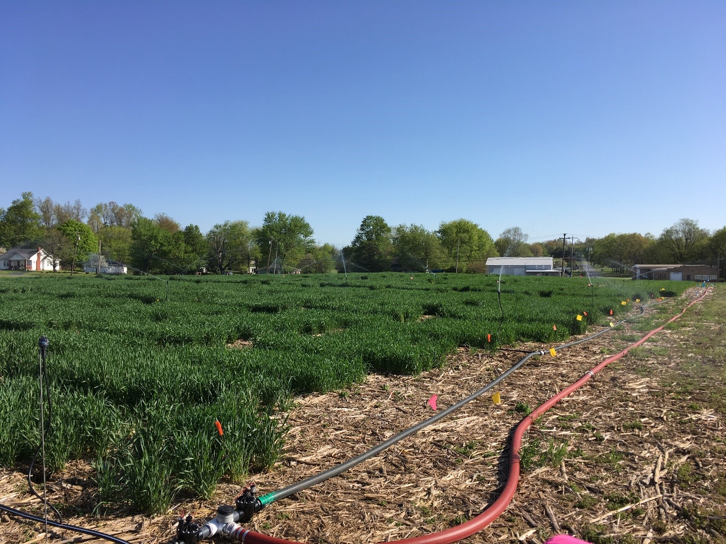 Fusarium Head Blight nursery used to promote development of the disease and infection of wheat. Photo: Carrie Knott