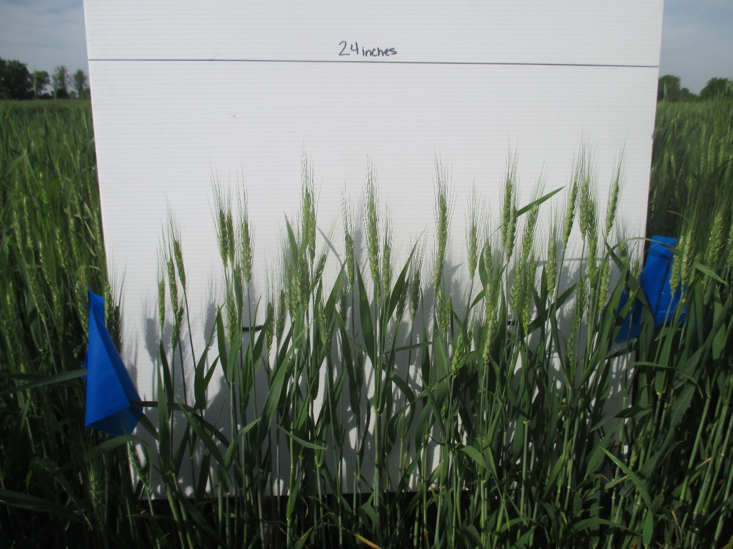 Photos of wheat plots were taken every day for 14 days to determine each plot's heading and flowering uniformity. Photo: Katherine Rod