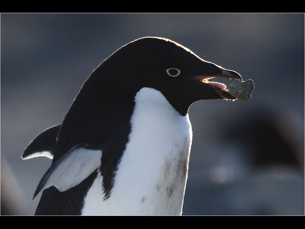 Adelie penguin building nest.jpg