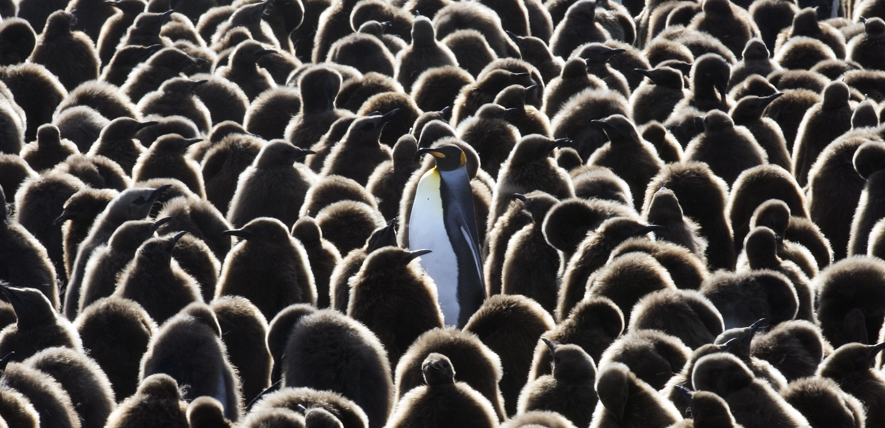 King Penguin Cresh.jpg