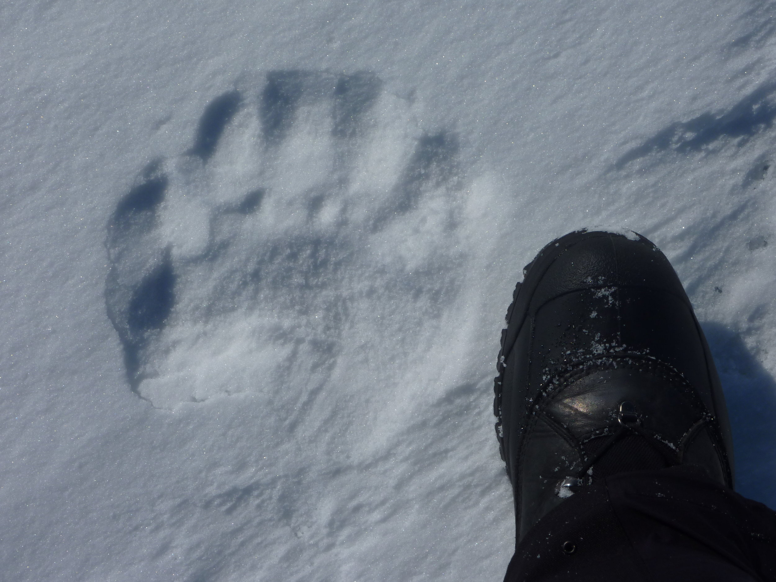 polar bear track by chris mogan.JPG