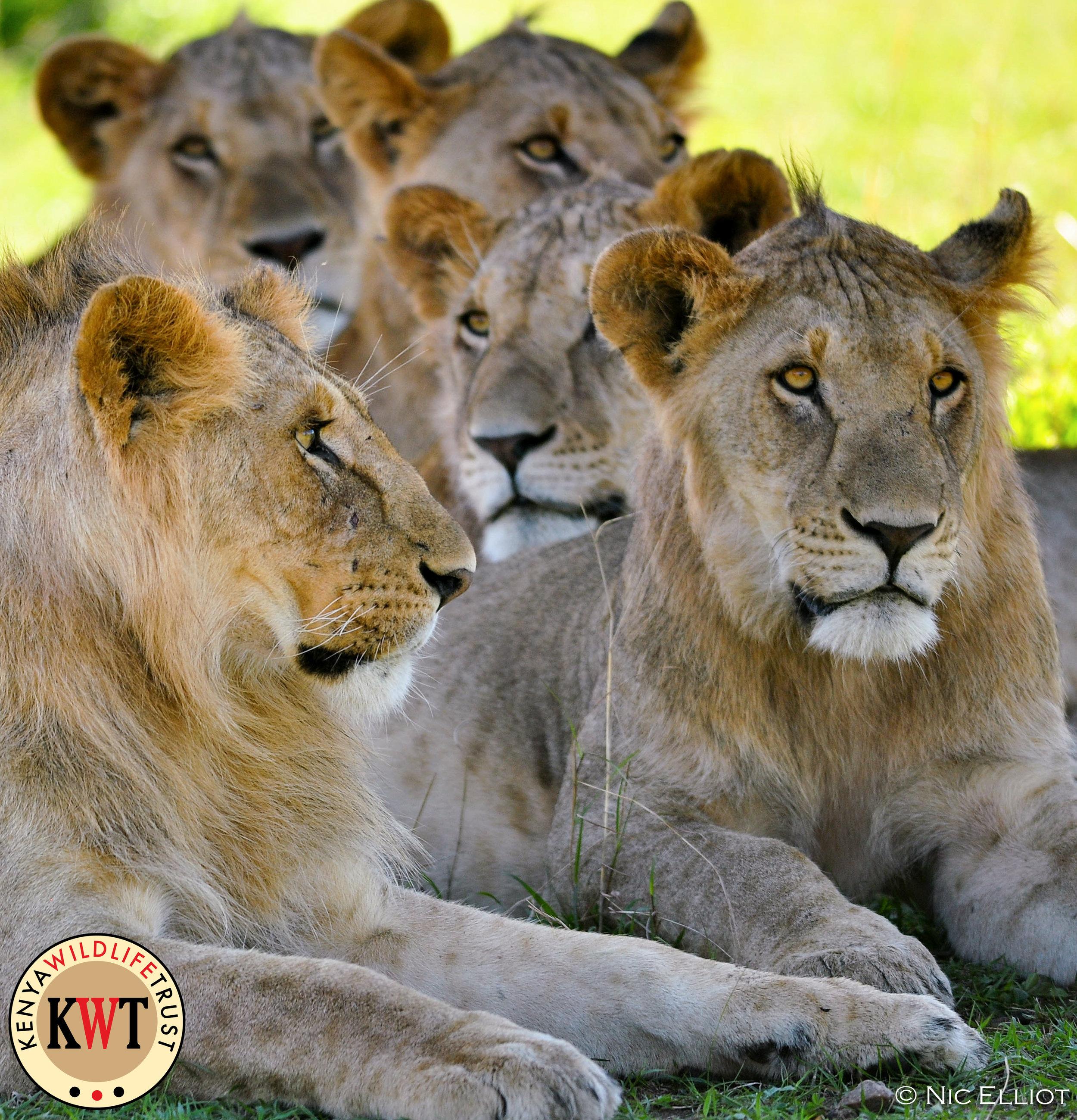Mara Lions.jpg