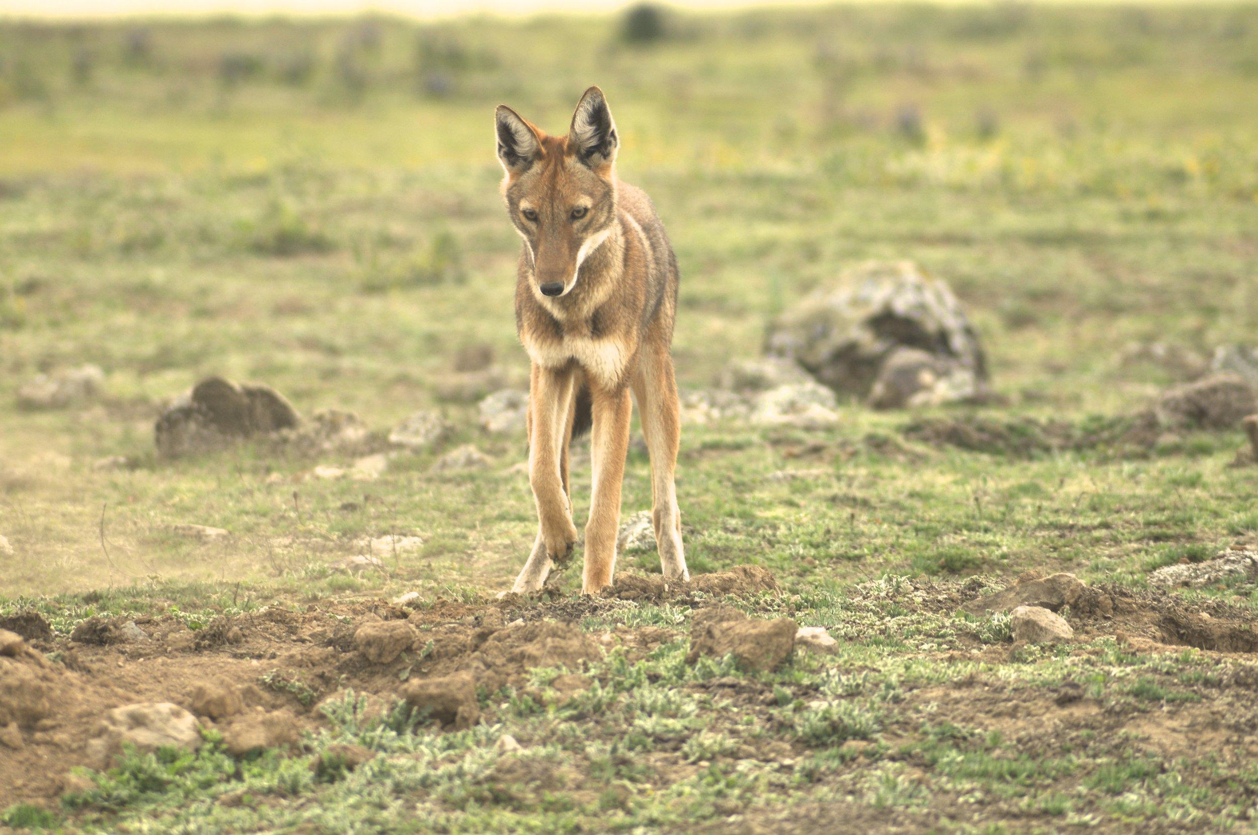 Randy Mazzuca - Ethiopian Wolf- WCN (4).jpg