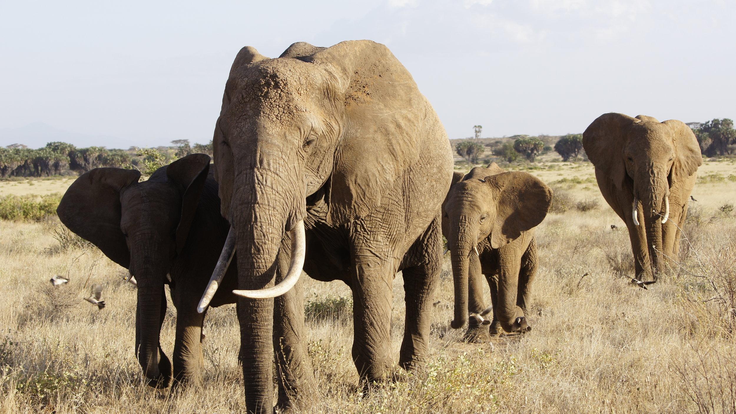 Randy Mazzuca - Elephant- WCN (3).JPG