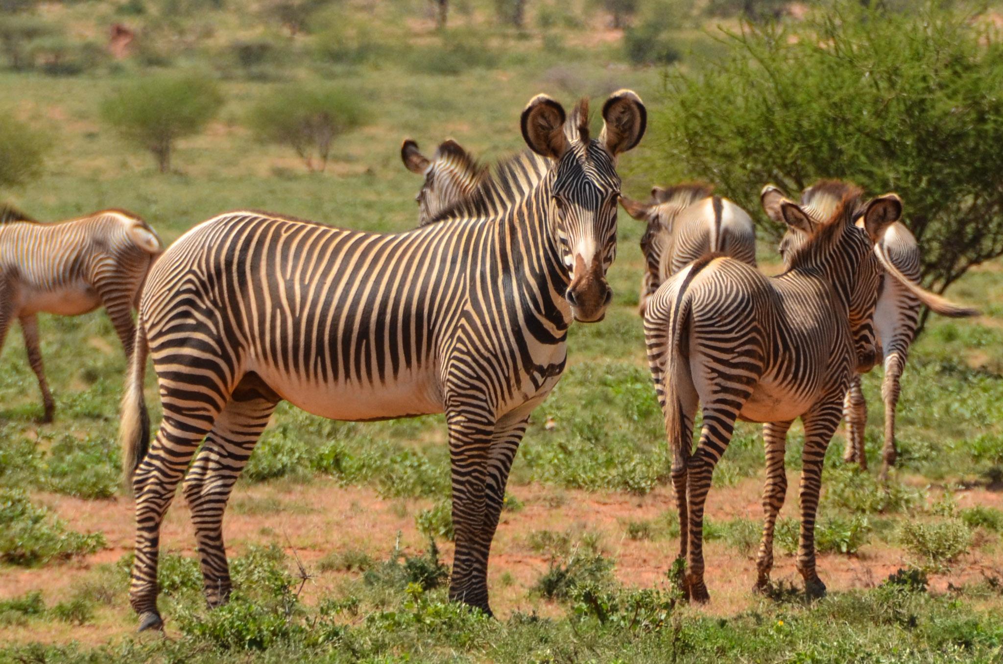 Randy Mazzuca - Grevy's zebra- WCN (2).jpg