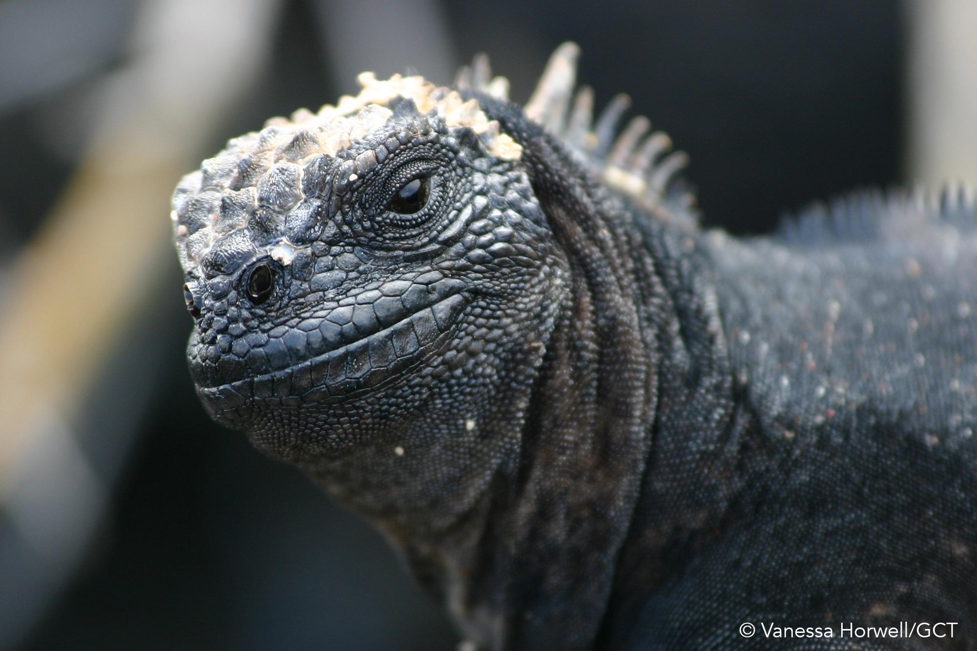 Galapagos Conservation Trust  - Marine Iguana Vanessa Horwell.jpg