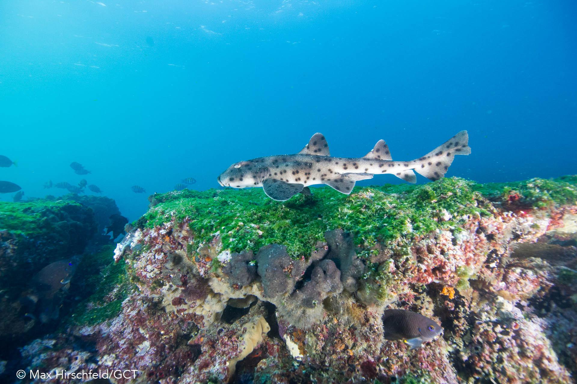 Galapagos Conservation Trust  - Bullhead Shark - Max Hirschfeld.jpg