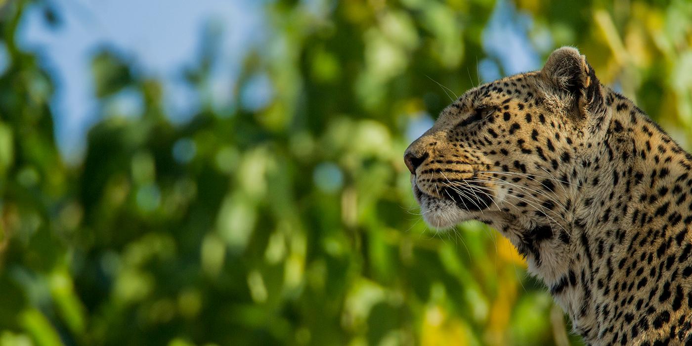 great-plains-foundation-leopard-2.jpg