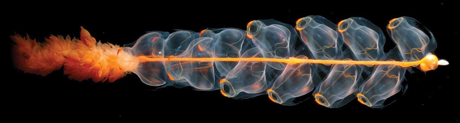 siphonophore-deep-sea.jpg