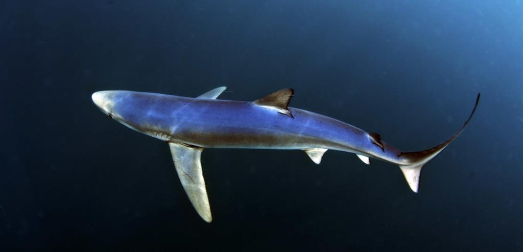 Blue-shark-shutterstock_140000233-1024x495.jpg