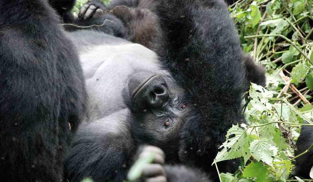 gorilla_lying (2).jpeg
