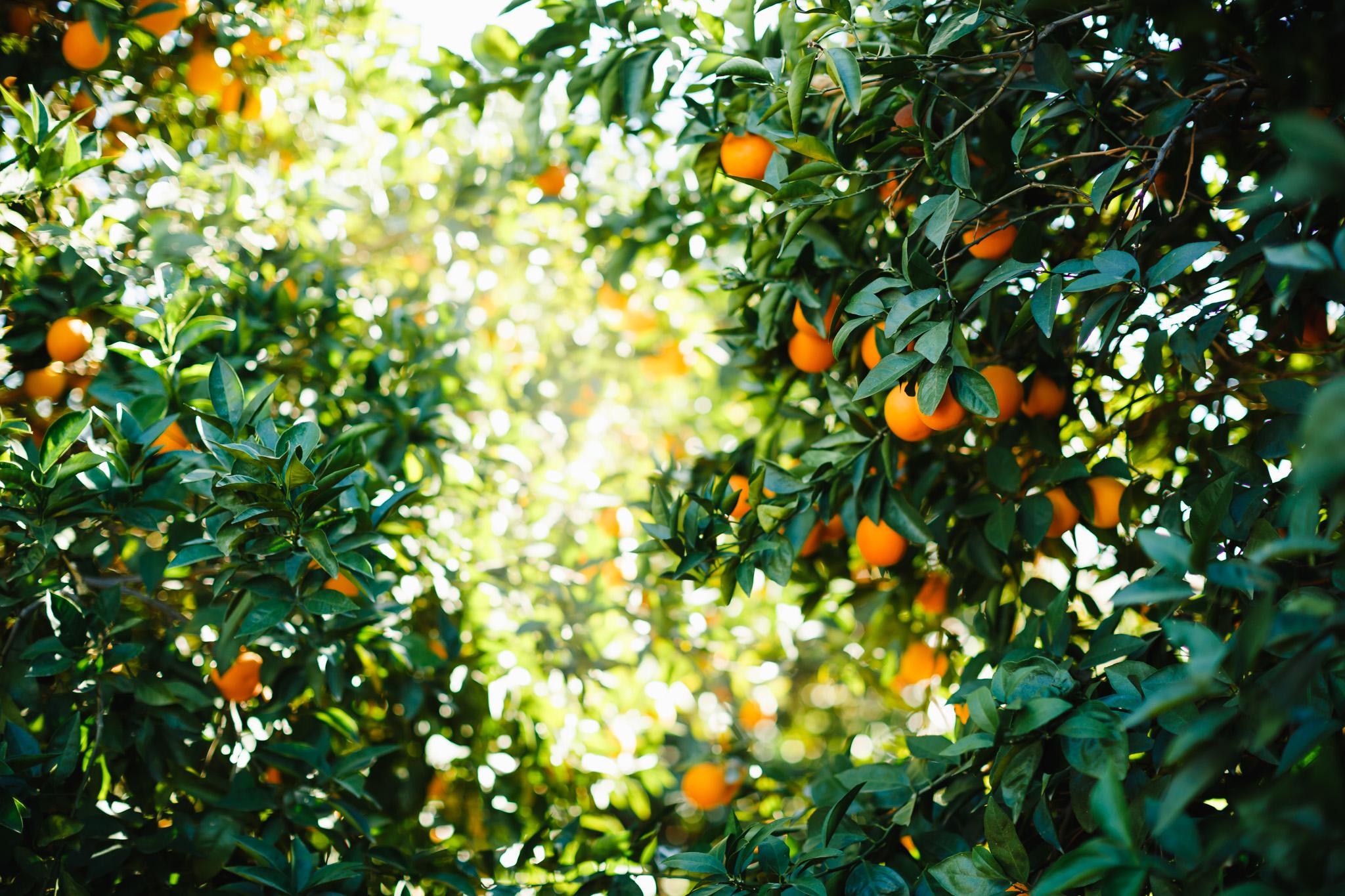 Citrus-UPick--04.jpg