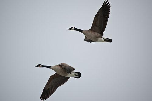 canadian-geese-pair-flying.jpg