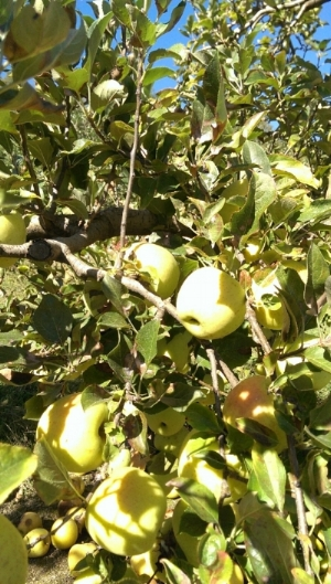 A golden delicious tree laden with fruit at Stepp's Hillcrest Orchard in Hendersonville, NC in early October 2017.