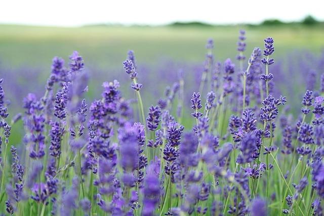 lavender-field-1031258_640.jpg