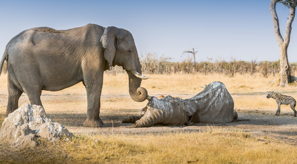 Grieving elephant. Image taken from blog by MIREIA QUEROL ROVIRA. Click the image to read the blog.
