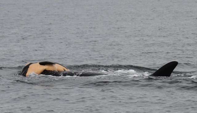 A grieving Orca mother carries her dead calf for days. Click the image to read the story in the Seattle Times.