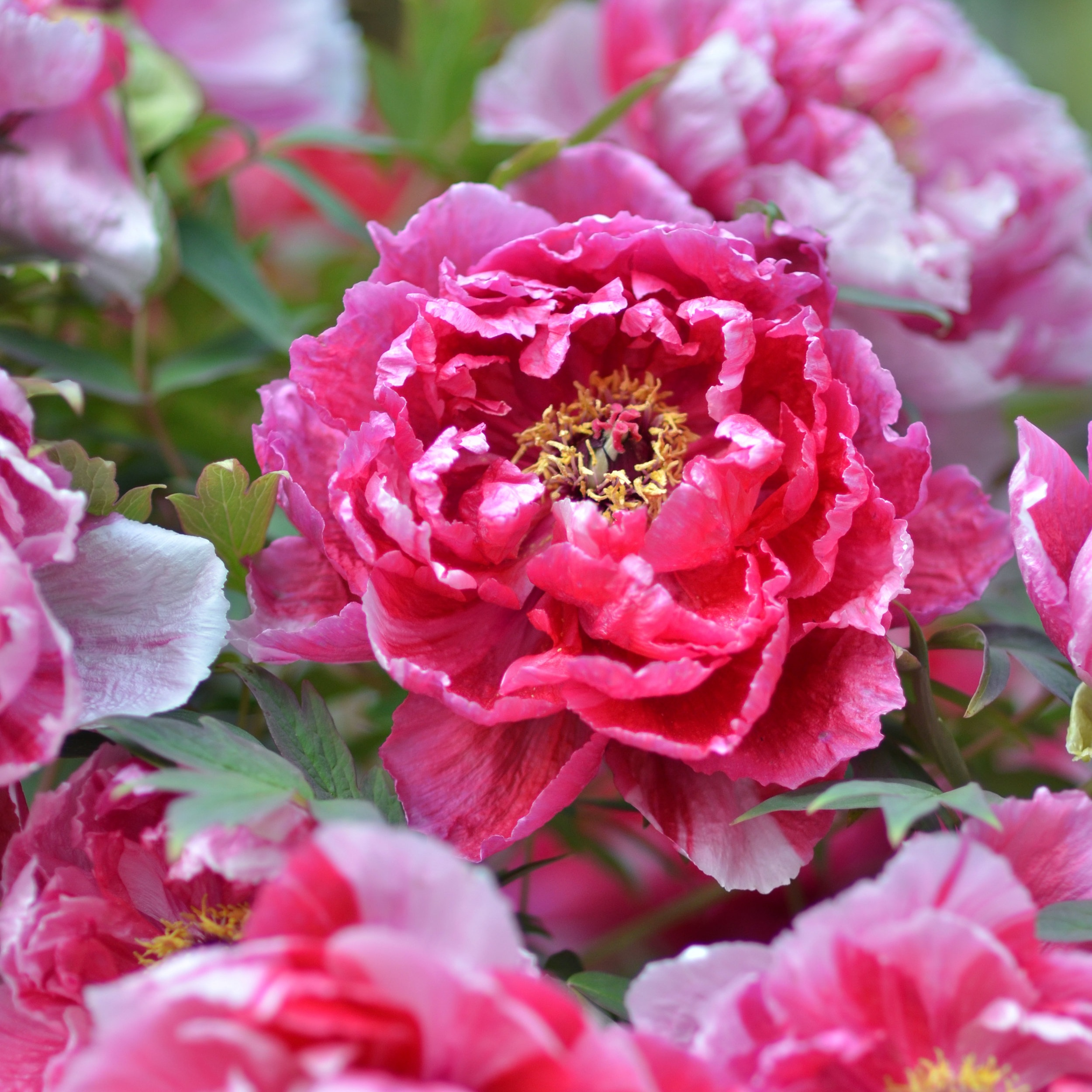 Peony Celebration - May 9, 2019