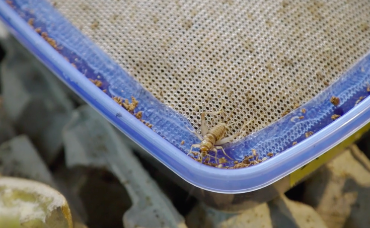 Future food: Crickets -