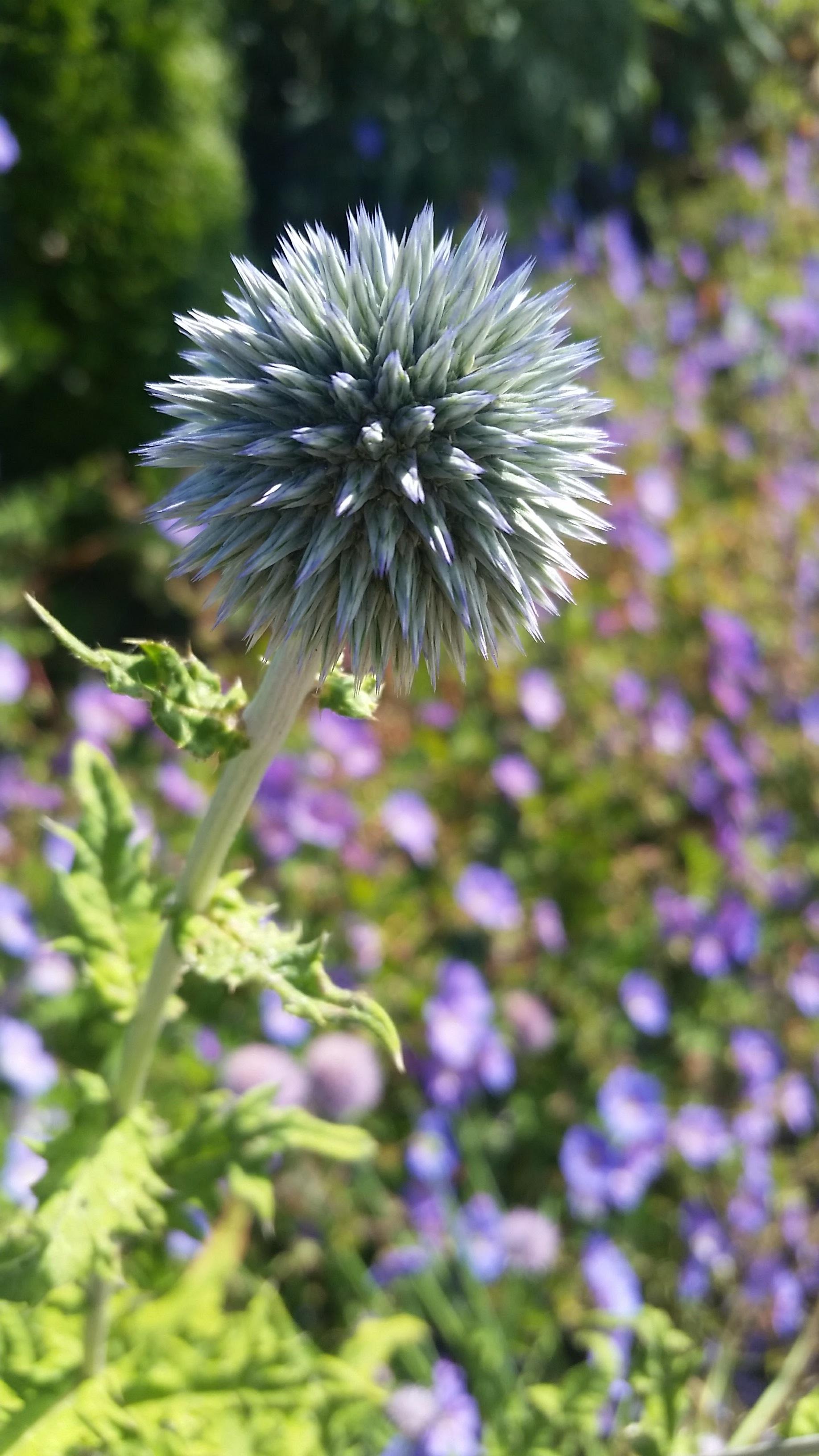 Blue Spiky Orb Flower.jpg