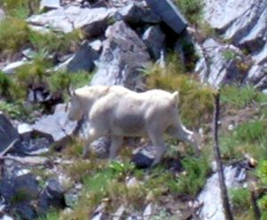mountain-goat-1.jpg