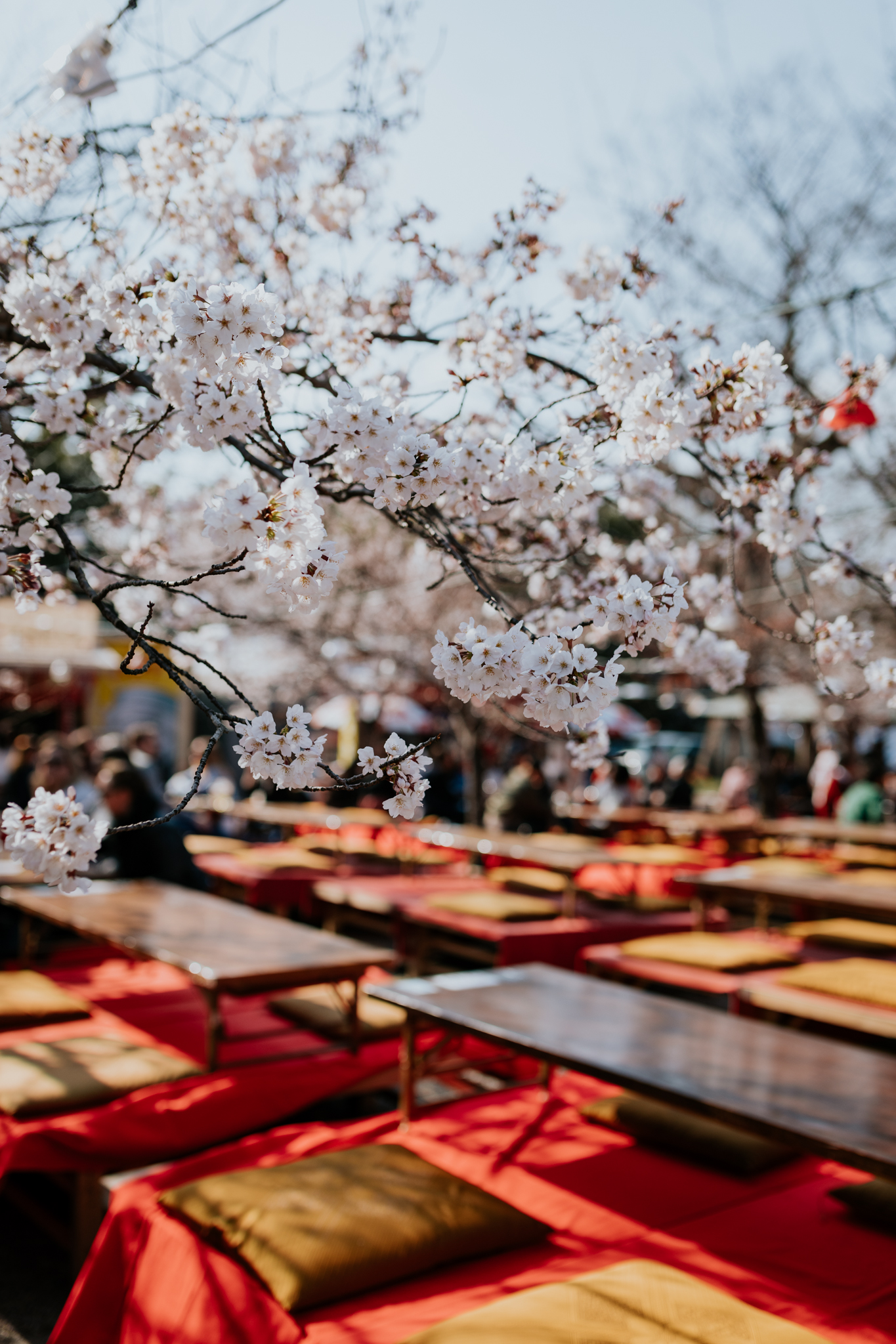 "Hanami   (花見, ""flower viewing"") is the Japanese traditional custom of enjoying the transient beauty of flowers. This is a hanami picnic area set up under the sakura."