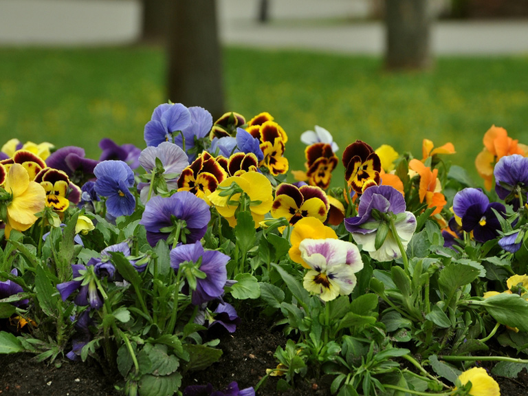 winter-bedding-plants-pansies-514927459-768.jpg