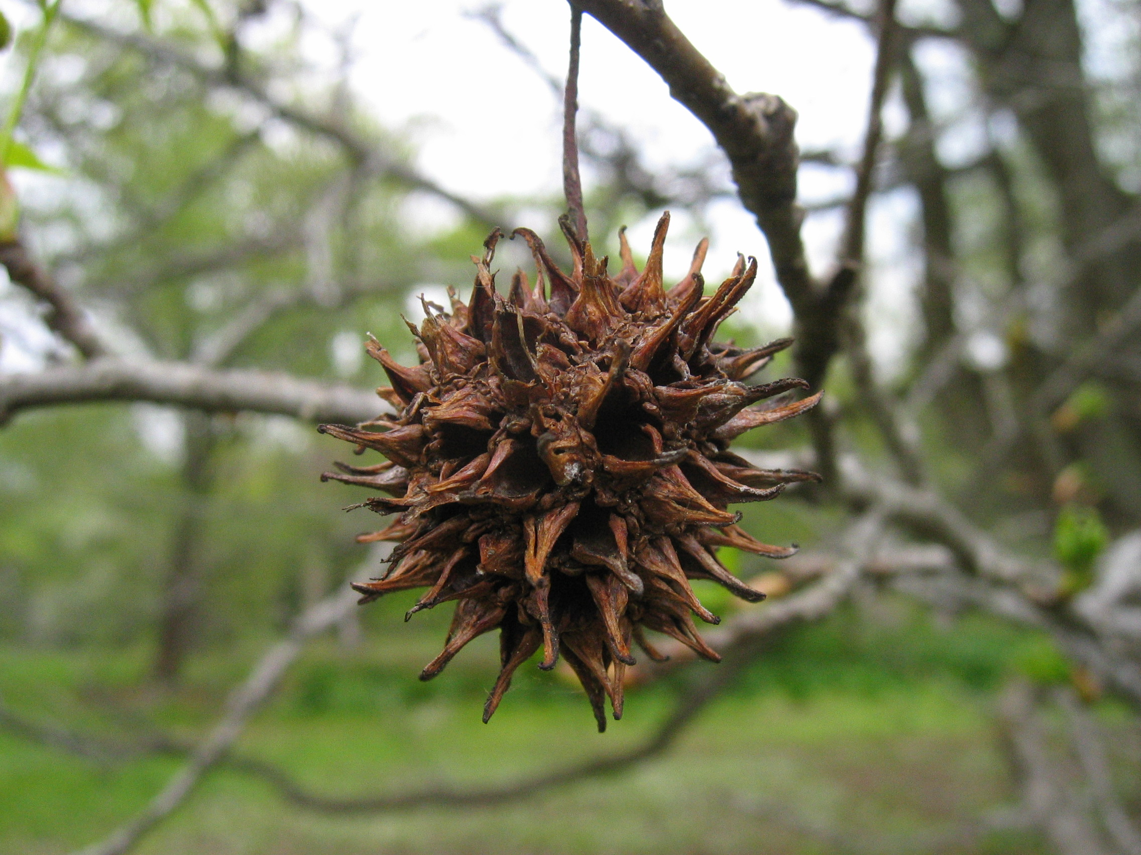 Sweetgum, a special one