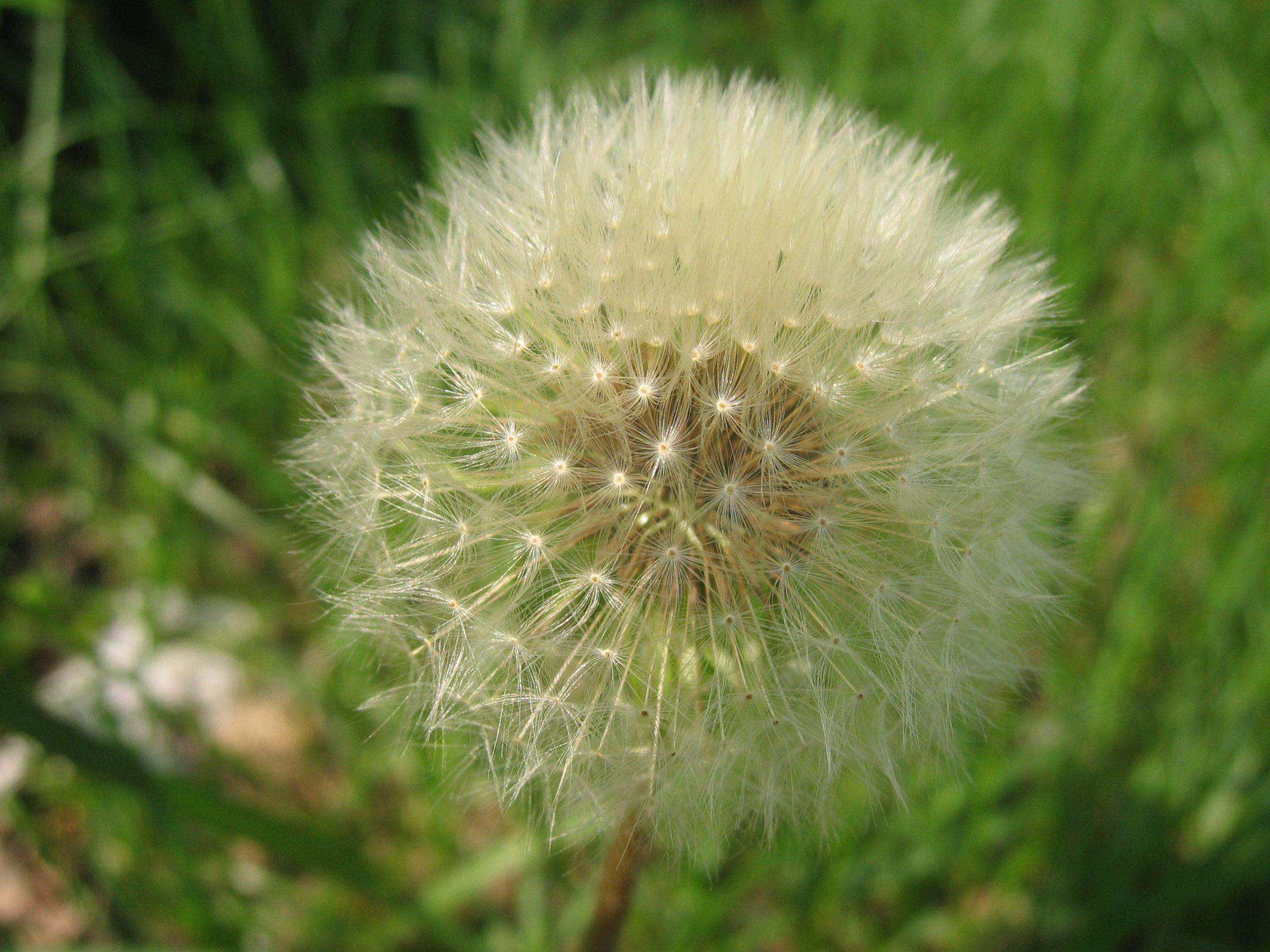 Dandelion seed head, a thing of wonder