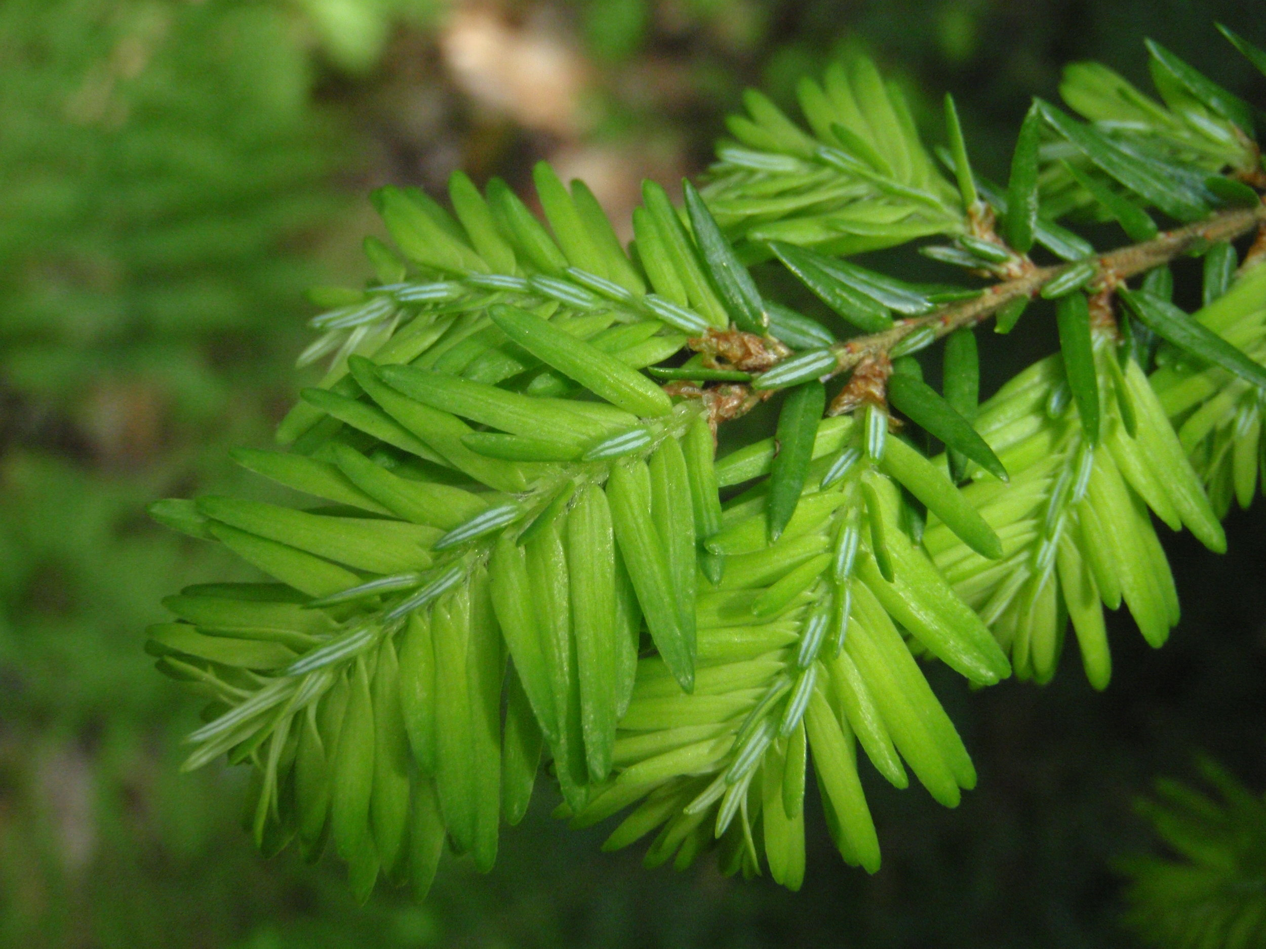 Hemlock, our most graceful tree