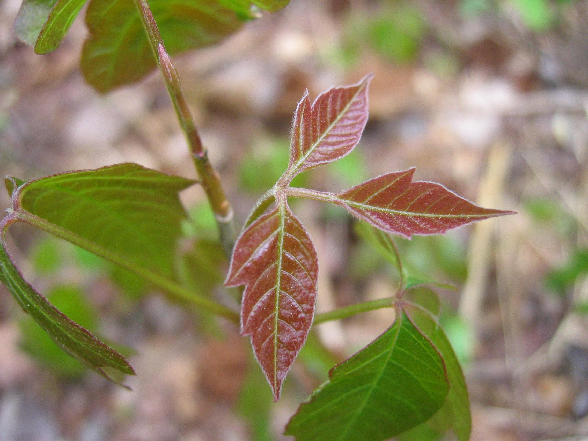 Poison ivy, friend not foe
