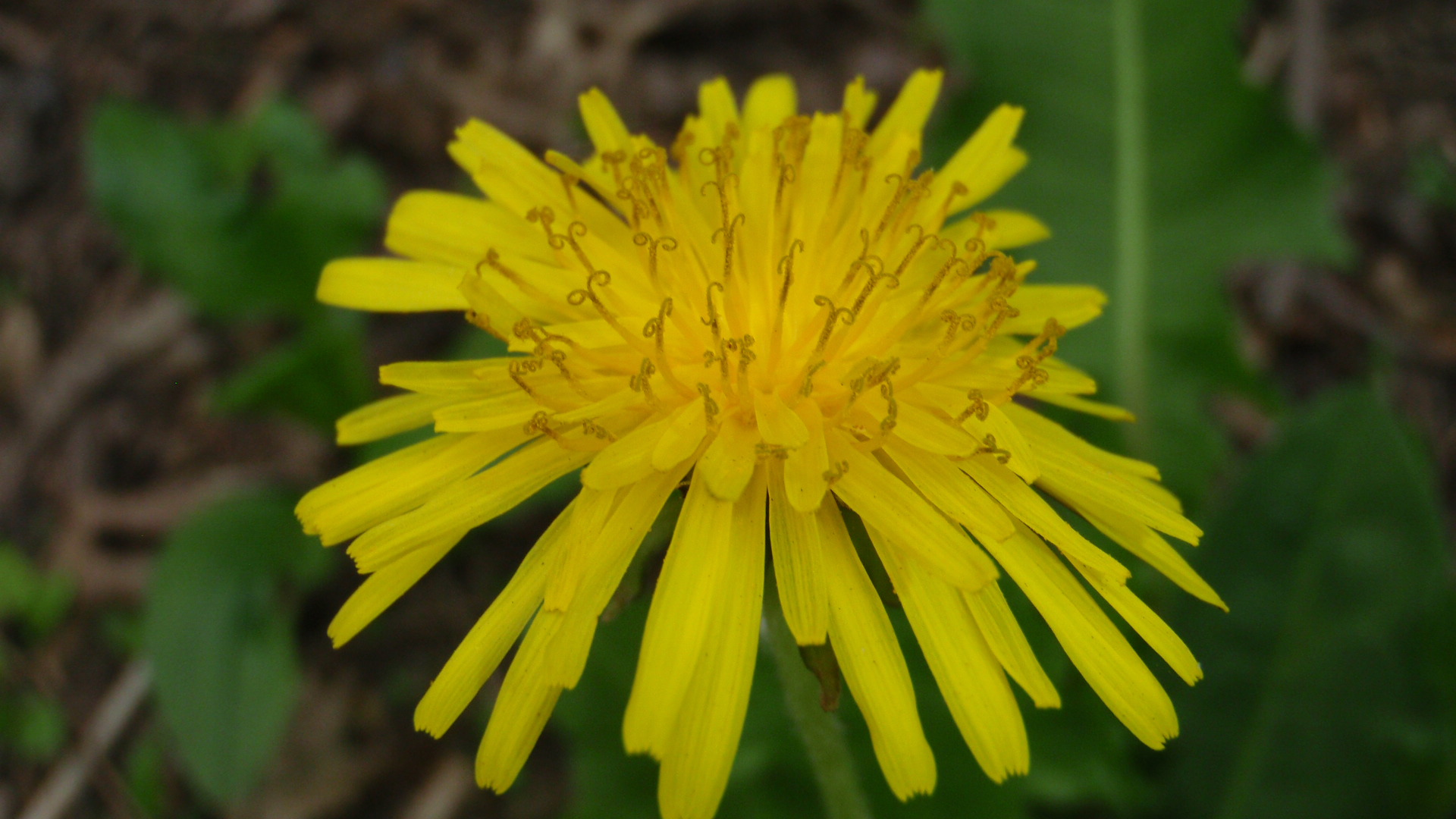 Dandelion - some things never go out of style