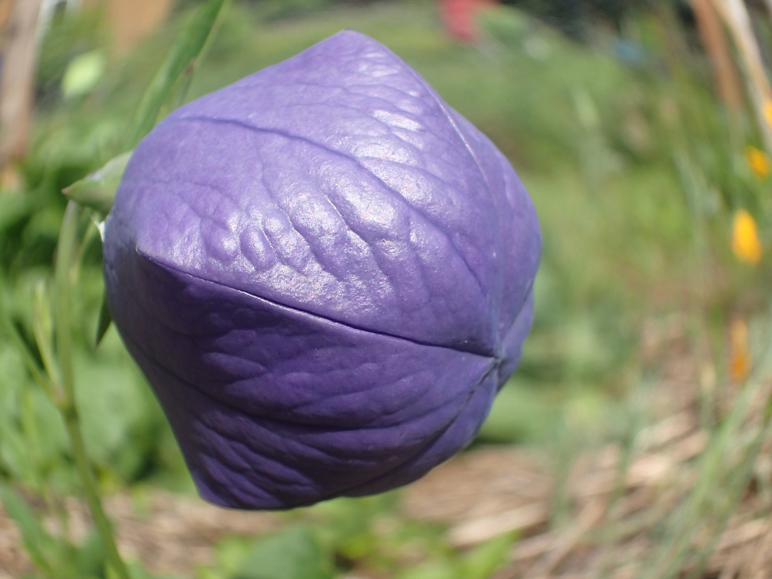 "Balloon flower - the ""balloon"" ready to pop"
