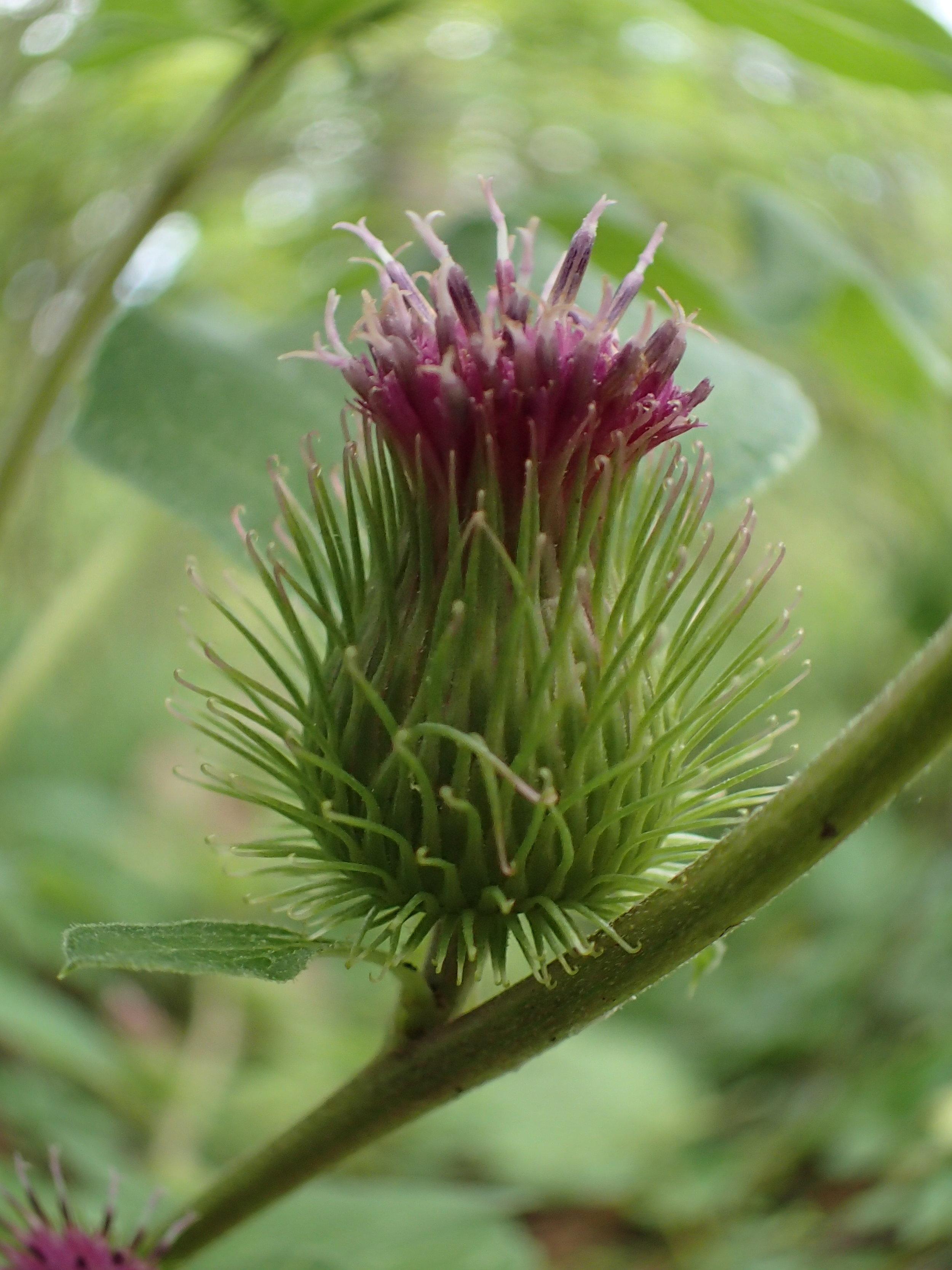Burdock blossom