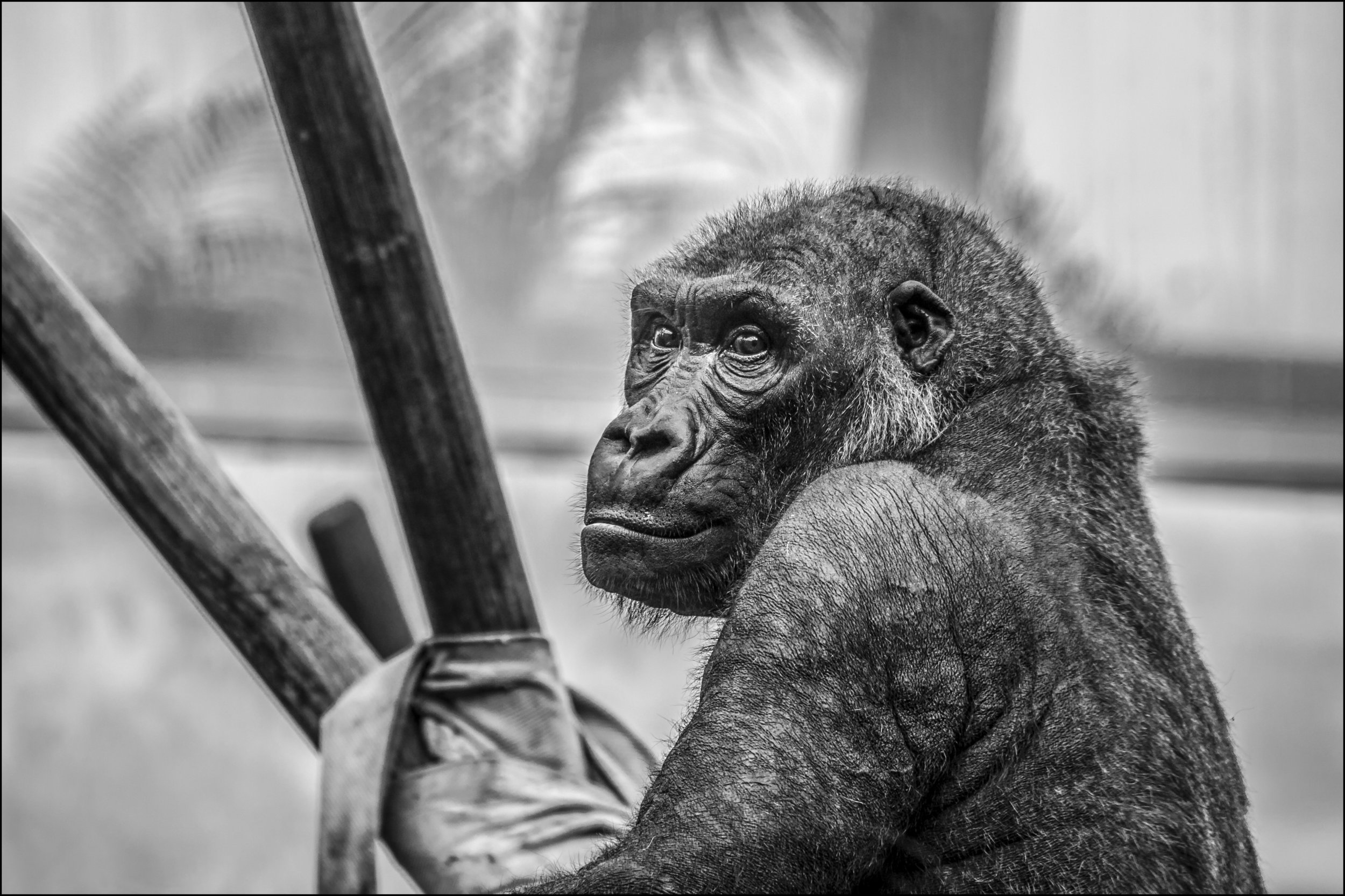 gorilla-zoo-monkey-mammal-37548.jpg